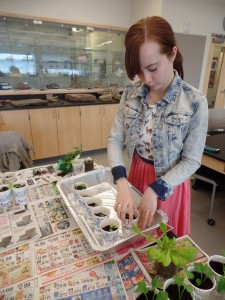 Helen Ard, '17, works on her South Mountain College Investigation course by tending to plants in recycled materials, such as water bottles, in Steps 581 on Friday, March 27, 2015. This course, among others, is in danger of being cut next year. (Kelsey Leck/B&W photo)
