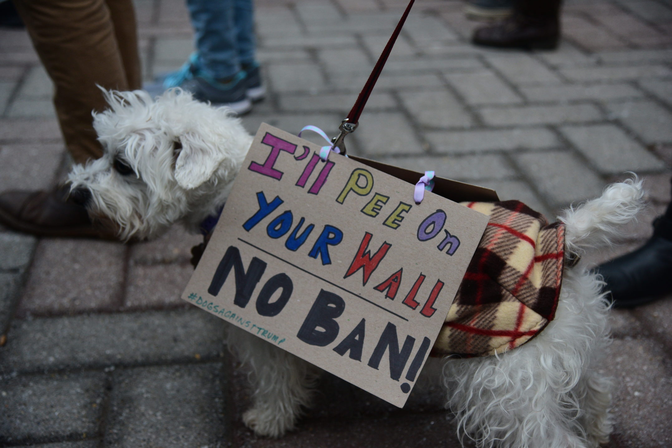 "Hailey, the dog of Amy Mccrae, coordinator of graduate life, wears a sign. Her sign reads, ""I'll pee on your wall. No ban!""  (Ashley Omoma/B&W Staff)"