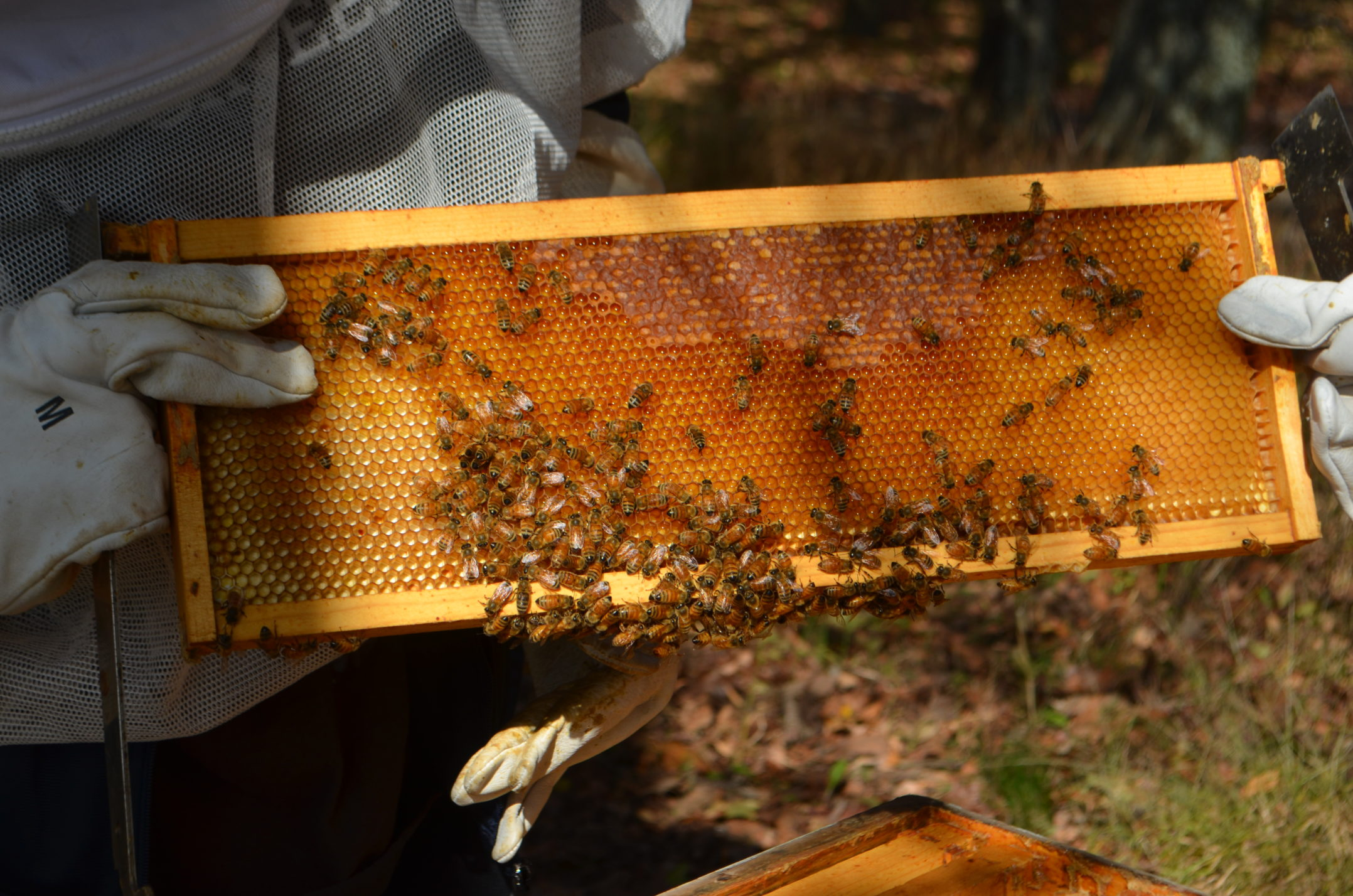A frame with many bees on it is pulled out of the hive. Each hive contains many frames where the bees can build comb, store nectar and make honey. (Delaney McCaffrey/B&W Staff)